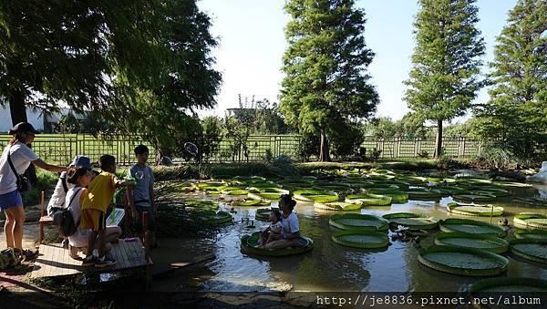 0814蓮荷園~大王蓮季節 (28).jpg
