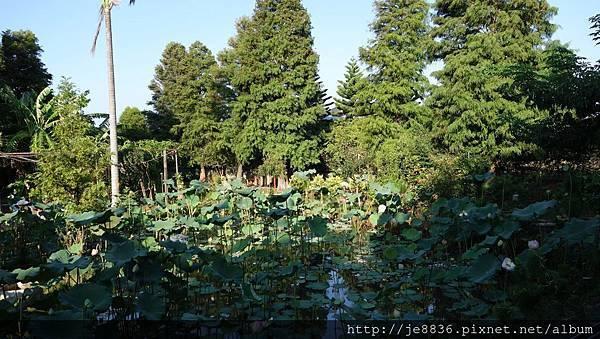 0814蓮荷園~大王蓮季節 (40).jpg