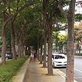 0905林口行道樹 (6).jpg
