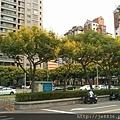 0905林口行道樹 (7).jpg