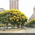 0905林口行道樹 (11).jpg