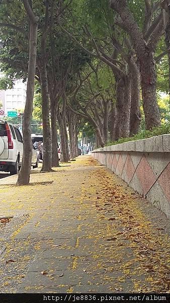 0905林口行道樹 (12).jpg