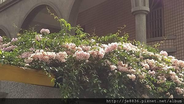 0905林口行道樹 (15).jpg
