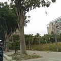0905林口行道樹 (28).jpg