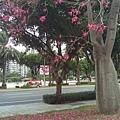 0905林口行道樹 (31).jpg