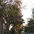 0905林口行道樹 (43).jpg
