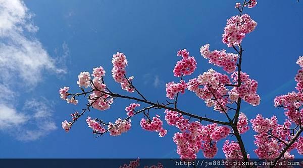 0127林口櫻花3.jpg