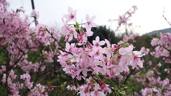 03020218陽明山花季43.jpg