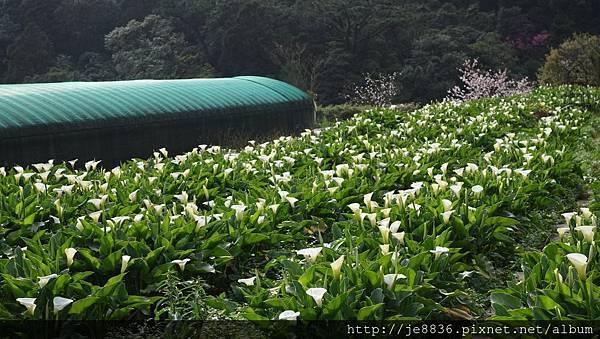 0302竹子湖 (43).jpg