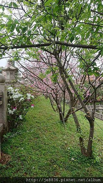 0317竹林寺櫻花3.jpg