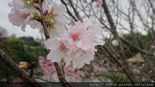 0317竹林寺櫻花8.jpg