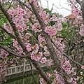 0317竹林寺櫻花9.jpg