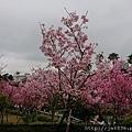 0317竹林寺櫻花19.jpg