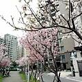 0312林口櫻花3.jpg