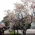 0312林口櫻花10.jpg