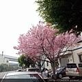 0312林口櫻花15.jpg