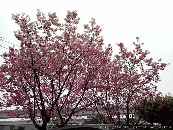 0312林口櫻花18.jpg