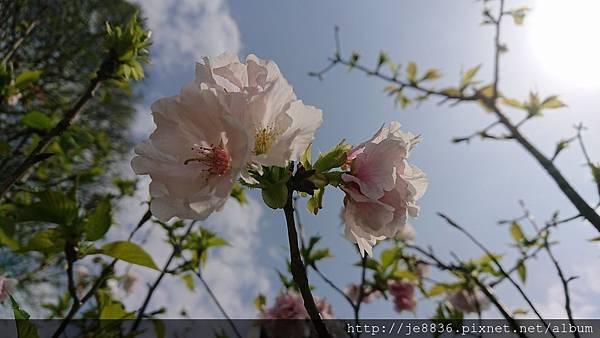 0322龜山紫藤3.jpg