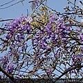 0322龜山紫藤6.jpg