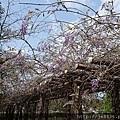0322龜山紫藤5.jpg