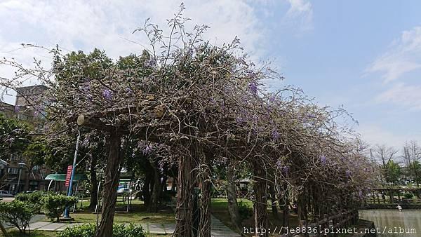 0322龜山紫藤7.jpg