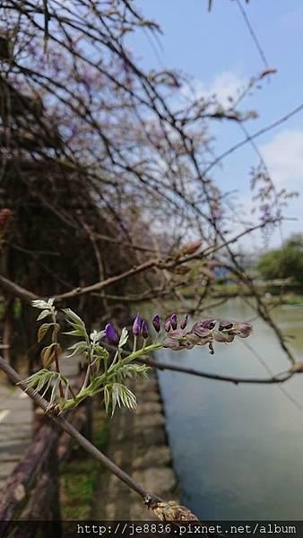 0322龜山紫藤8.jpg