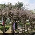0322龜山紫藤9.jpg