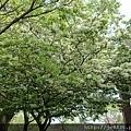 0322龜山紫藤10.jpg