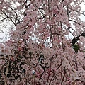 0323東京賞櫻31.jpg