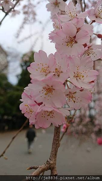 0323東京賞櫻34.jpg