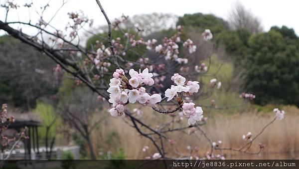 0323上野公園~不忍池38.jpg