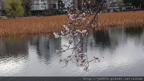 0323上野公園~不忍池39.jpg