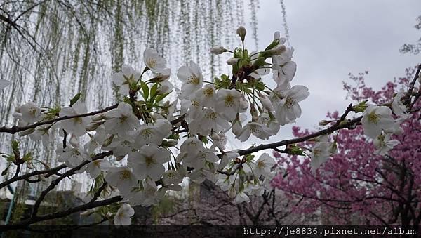 0323上野公園~不忍池52.jpg