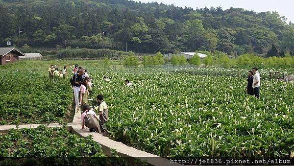 2018竹子湖海芋季43.jpg