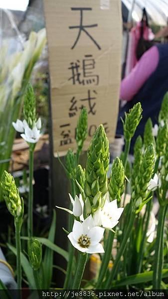 2018竹子湖海芋季54.jpg
