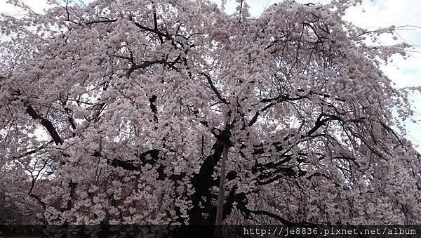 0323新宿御苑49.jpg