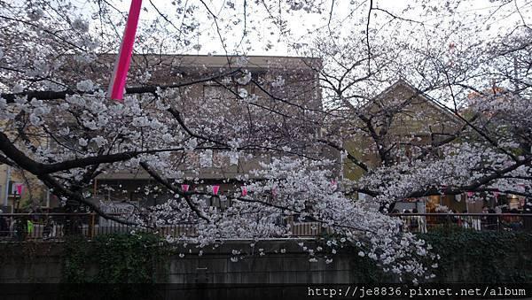 0323目黑川賞櫻21.jpg