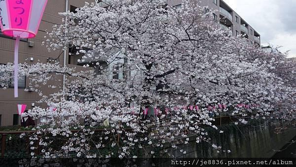 0323目黑川賞櫻28.jpg