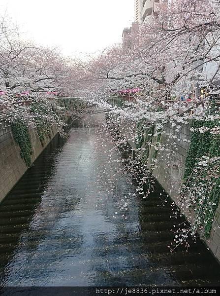 0323目黑川賞櫻36.jpg