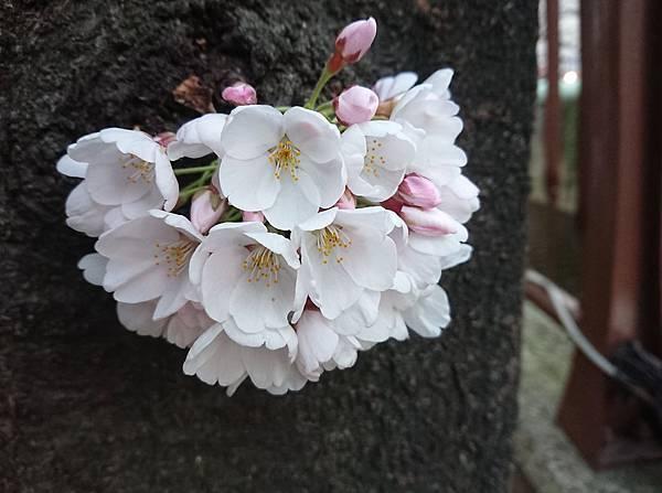 0323目黑川賞櫻22