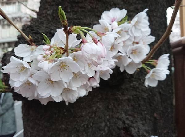 0323目黑川賞櫻23