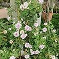 0508蘿莎玫瑰18.jpg