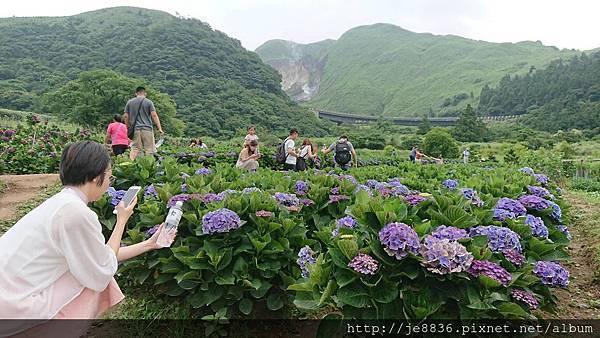 0610繡球花1.jpg