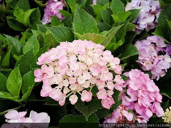 0610繡球花5.jpg