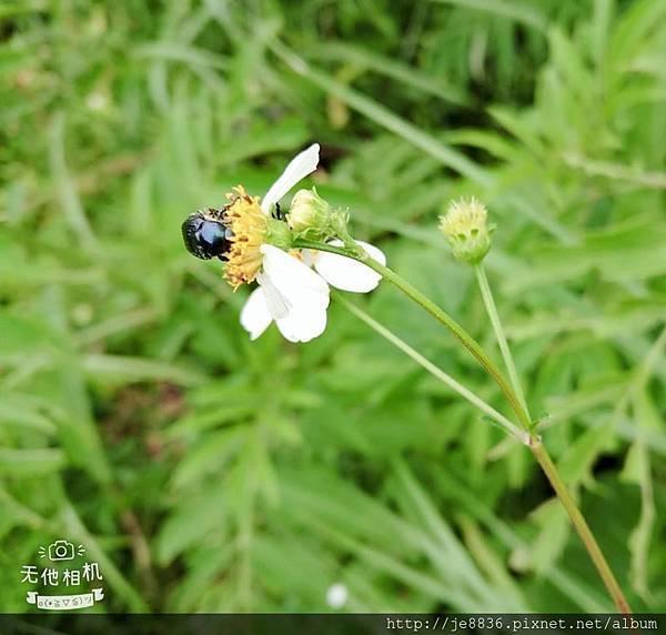 0610繡球花10.jpg