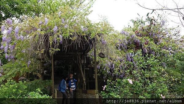 0404彩色海芋1.jpg
