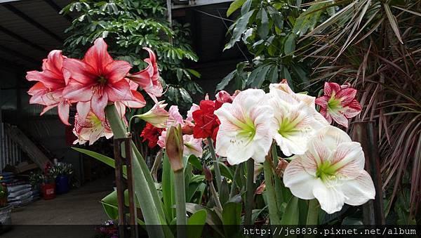 0404彩色海芋10.jpg