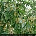 0808錫蘭橄欖2.jpg