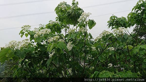 0419長庚養生村~桐花13.jpg
