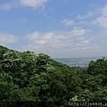 0503土城桐花季 (10).jpg